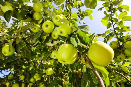 green apples on a tree in orchard  Stock Photo