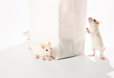 cute white rats examine a white bag  photo