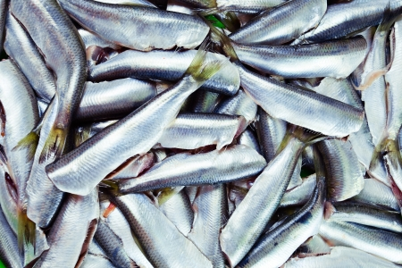 Fresh crude anchovies prepared for processing photo