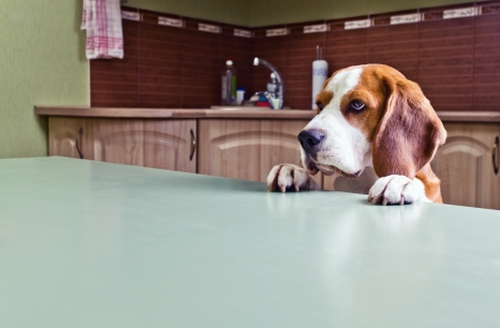 Dog in expectation of meal, focus on a head. Stock Photo - 15304420