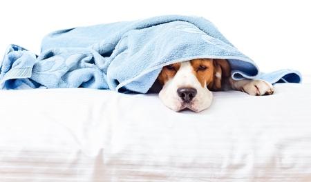 recovery bed: Molto cane malato, isolato su uno sfondo bianco Archivio Fotografico