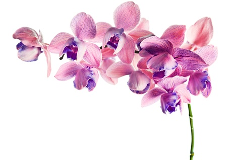 orchid isolated on a white background , (phalaenopsis)  Stock Photo