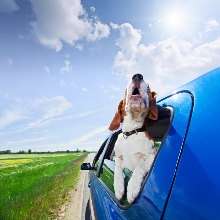 funny dog: The cute beagle  travels in the blue car.