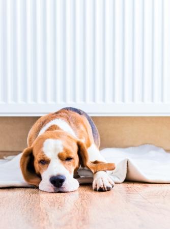 heizk�rper: Der Hund hat einen Rest auf Holz auf einem Boden in der N�he eines warmen Heizk�rper