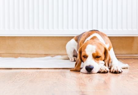 The dog has a rest on wooden to a floor near to a warm radiator Stock Photo - 16000767