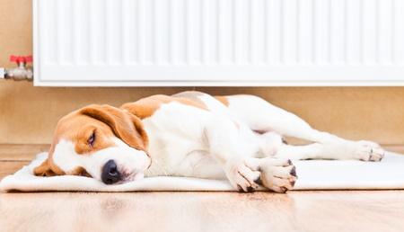 Der Hund hat einen Rest auf Holz auf einem Boden in der Nähe eines warmen Heizkörper