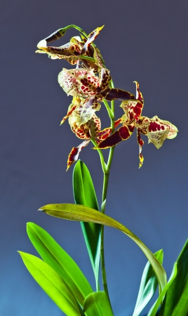 orchid with leaves on a dark background  photo