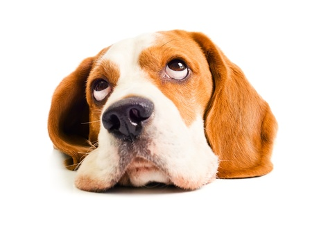 beagle: beagle head isolated on a white background