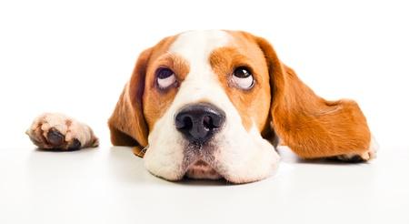 cabe?beagle isolado em um fundo branco Banco de Imagens