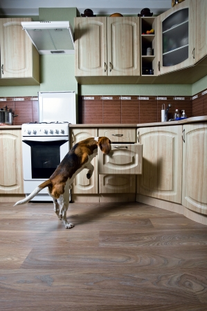 The dog in kitchen searches for something tasty. Stock Photo - 17617919