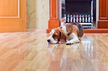 hardwood: The dog has a rest on wooden to a floor near to a fireplace