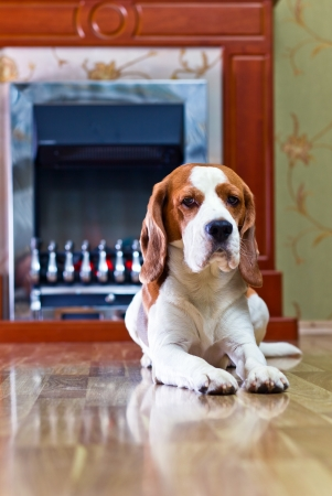 The dog has a rest on wooden to a floor near to a fireplace Stock Photo - 17893872