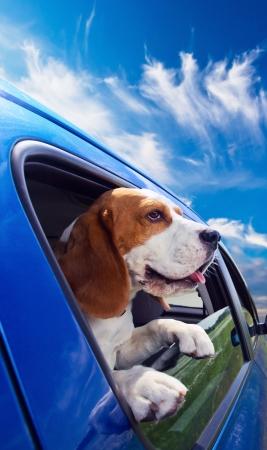 Il beagle carino viaggia in auto blu. Archivio Fotografico