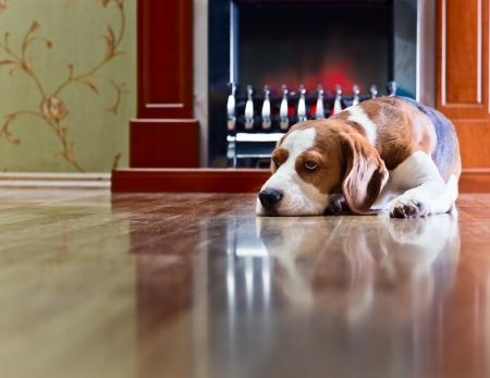 Il cane ha un resto su legno di un pavimento vicino ad un camino