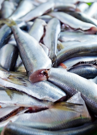 crowd tail: Fresh crude anchovies prepared for processing Stock Photo