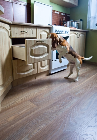 The dog in kitchen searches for something tasty  photo