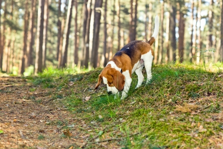 The beagle in wood searches for game Stock Photo