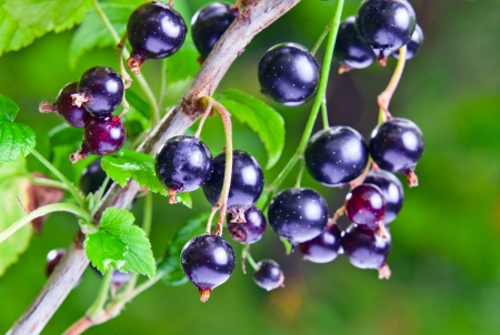 black currant:  black currant, ripe berries on a branch