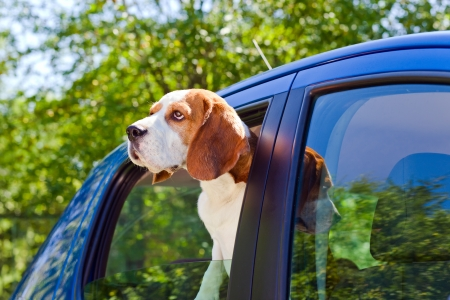 The cute beagle  travels in the blue car. photo