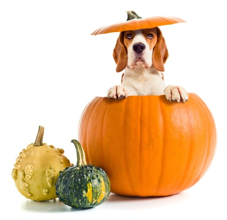 halloween pumpkins: beagle in pumpkin isolated on a white background