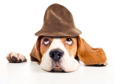 wizard hat: beagle  in wizard hat isolated on  white background Stock Photo