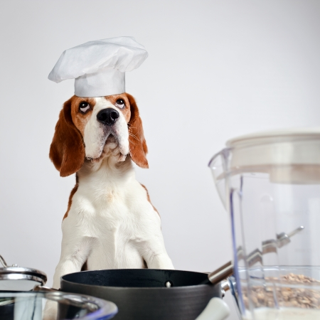 beagle in cook hat behind a kitchen table photo
