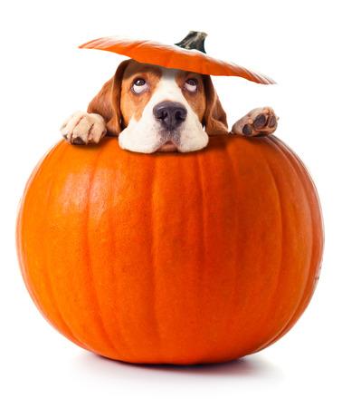 beagle in pompoen geïsoleerd op een witte achtergrond