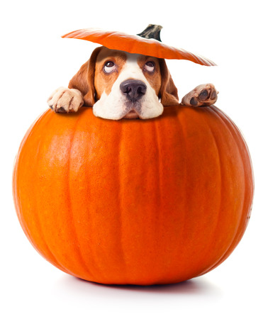 beagle in pumpkin isolated on a white background photo