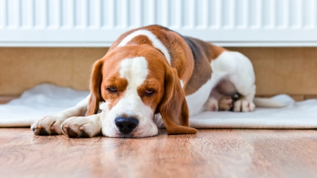 The dog has a rest on wooden to a floor near to a warm radiator Stock Photo - 22967401