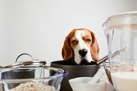 Nice beagle behind a kitchen table photo