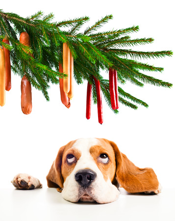 The cute beagle and its Christmas dreams, isolated on white