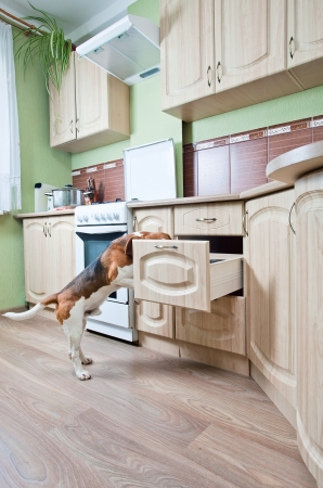 The dog in kitchen searches for something tasty. photo