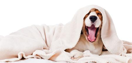 yawning dog under a blanket, isolated on  white  photo