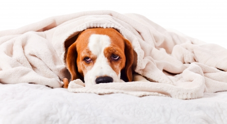 白で隔離され、毛布の下で非常に多くの病気の犬