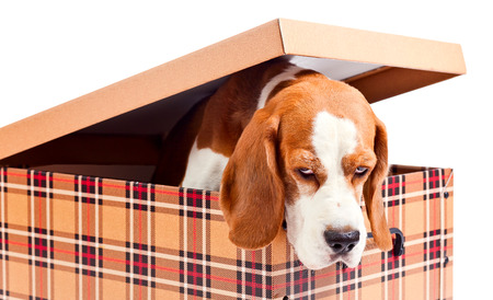 cute dog in box isolated on  white background photo