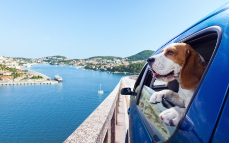 green sea: The cute beagle  travels in the blue car