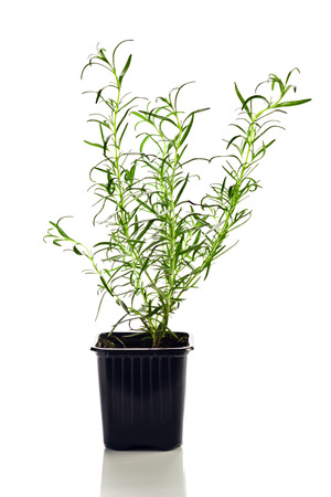 rosemary in earth , isolated on white reflexive  photo