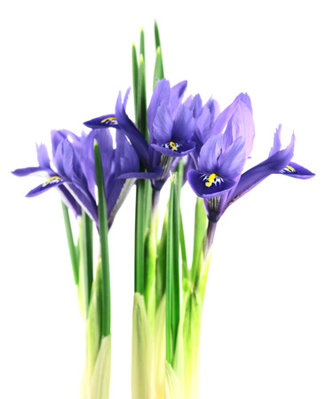 reticulata iris: iris reticulata  isolated on a white