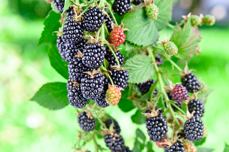 ripe  blackberry on a branch in garden photo