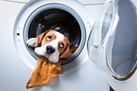 lavadora con ropa: Perro despu�s del lavado en una lavadora Foto de archivo
