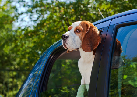 The cute beagle  travels in the blue car. photo