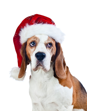 cute beagle in Santa hat isolated on white photo