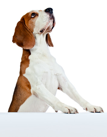 pets background: cute beagle isolated on a white background