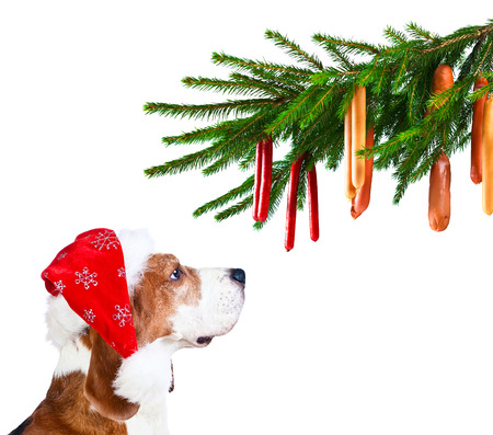 x mass: cute beagle in Santa hat isolated on white
