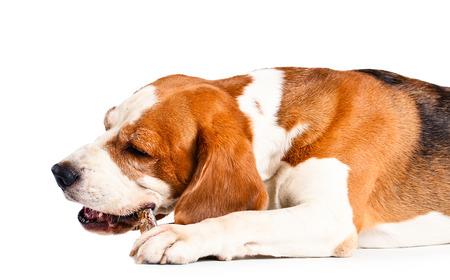 The dog gnaws a bone  , isolated on white background photo