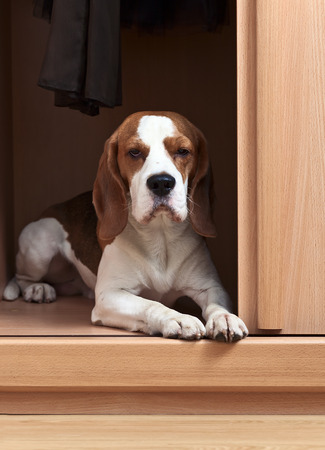 climbed: The missing dog has climbed in a wardrobe Stock Photo