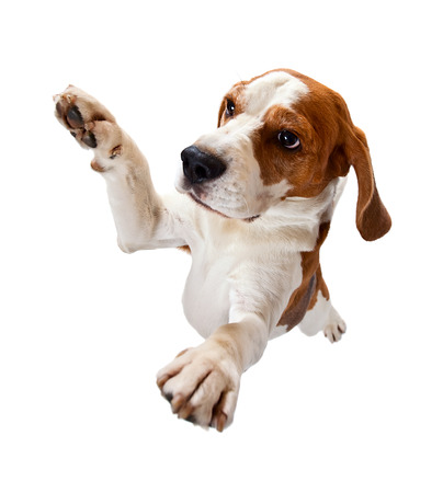 jumping dog isolated on a white background Standard-Bild