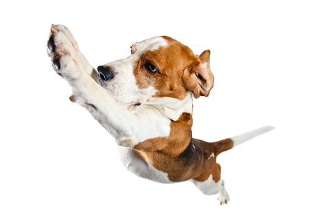 jumping dog isolated on a white background Foto de archivo