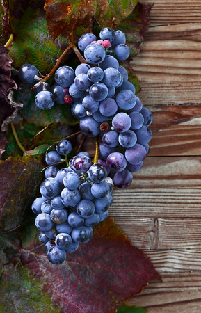 dried up: blue grape with dried up leaves Stock Photo
