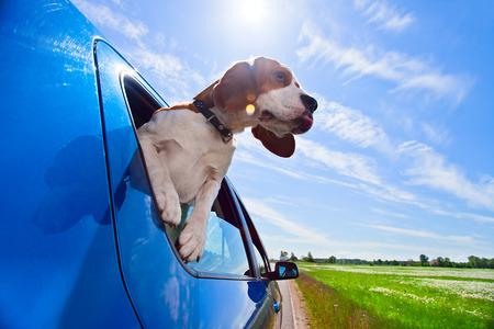 beagle: The cute beagle  travels in  blue car.